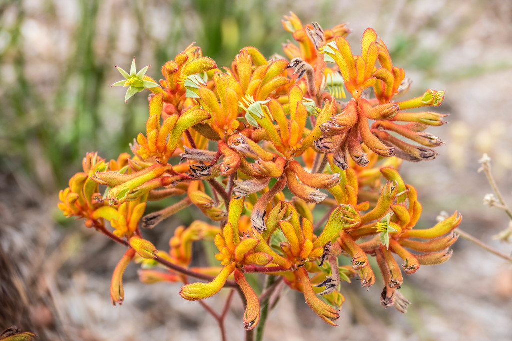 Kangaroo paw by hrs