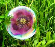 17th Jan 2019 - Poppy in a Bubble
