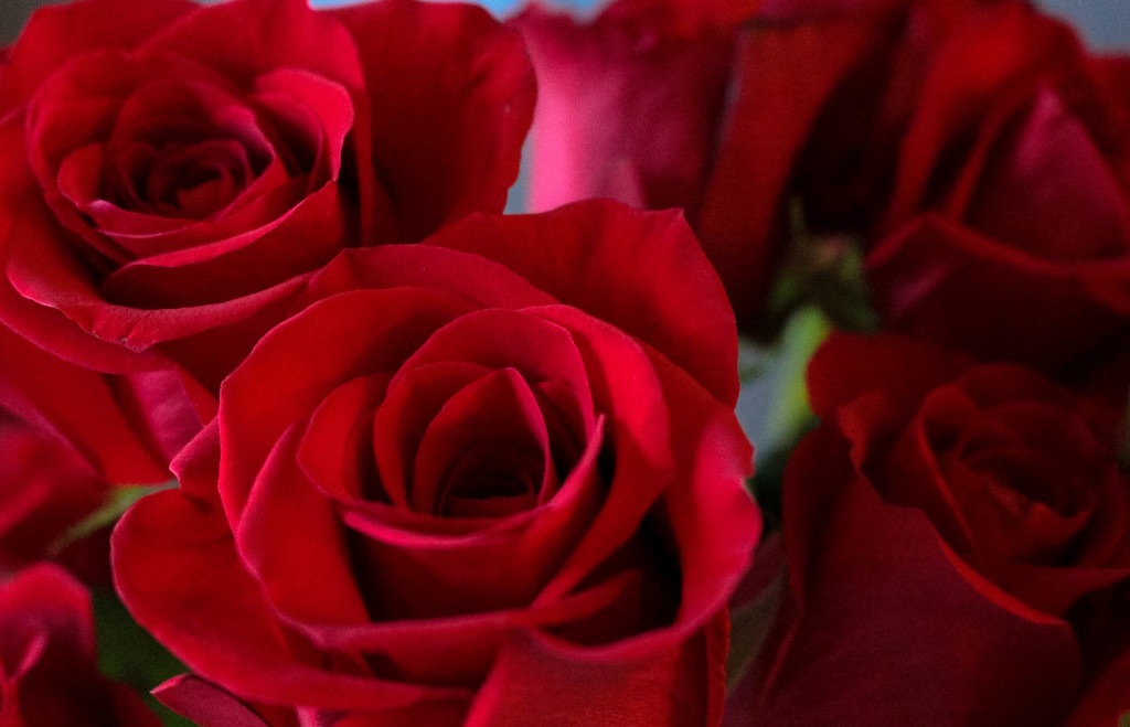 Anniversary roses by mittens