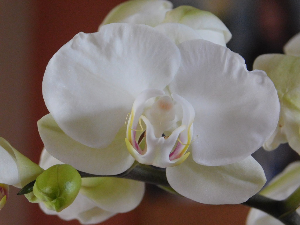White orchid by 365anne