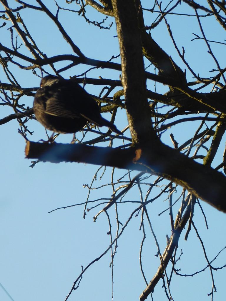 Blackbird in a black tree by 365anne