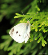 """23rd Sep 2018 - """"Cabbage White"""""""