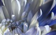 17th Jan 2019 - Snow Blue Chrysanthemum