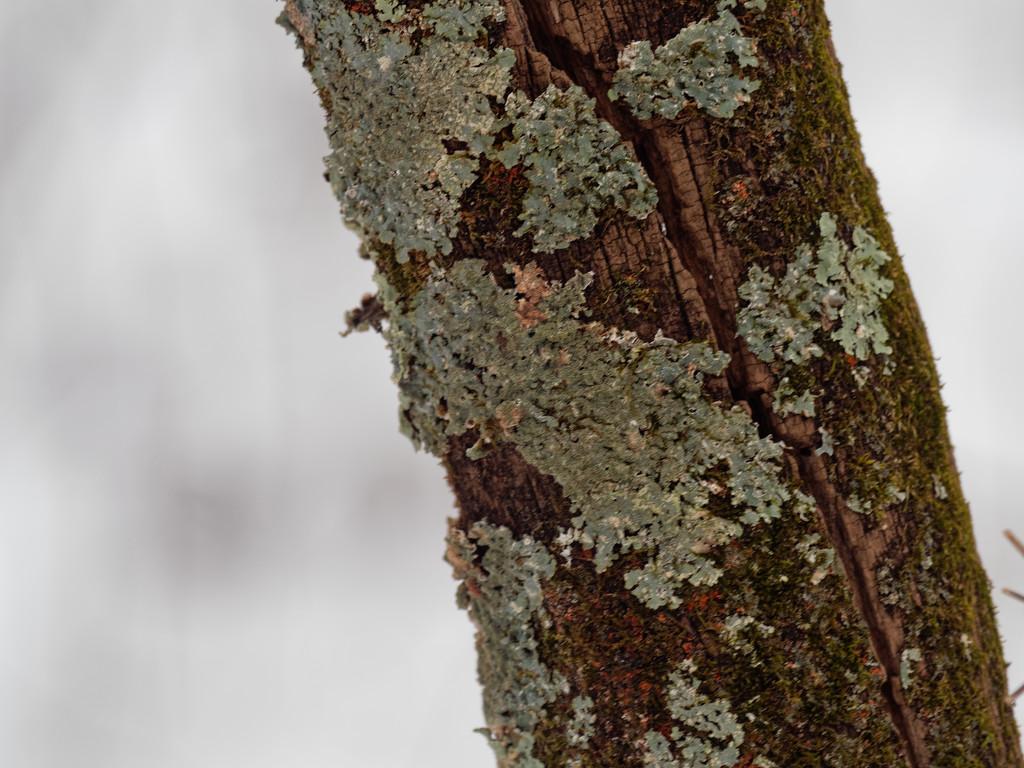 lichen by rminer