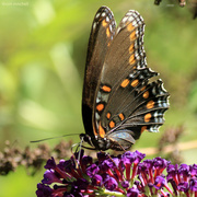 """19th Sep 2018 - """"'Astyanax' Red-spotted Purple"""" [Filler]"""