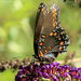"""""""'Astyanax' Red-spotted Purple"""" [Filler]"""