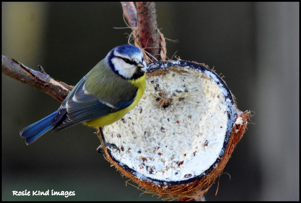 He's discovered the coconut shell full of suet by rosiekind