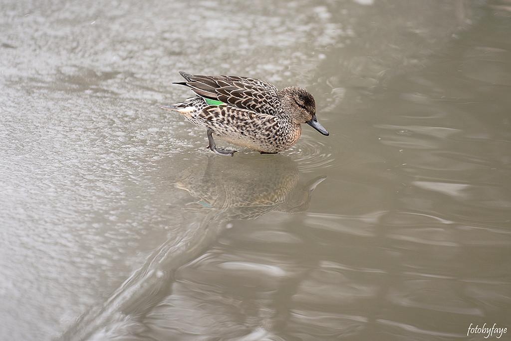 Green-winged Teal Duck! by fayefaye