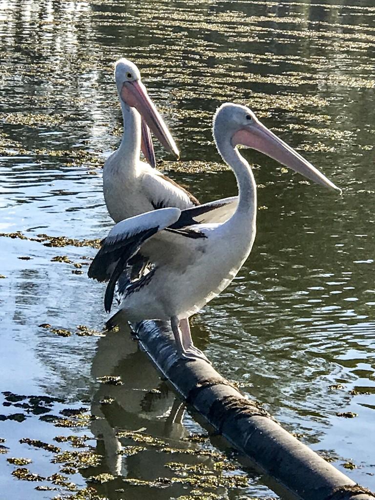 Pelican's  by sugarmuser