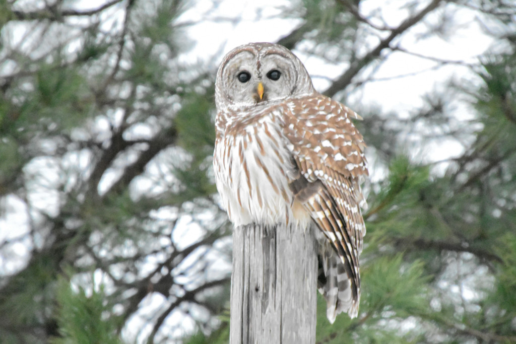Barred Owl Perched Among Evergreens by kareenking