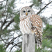 Barred Owl Perched Among Evergreens