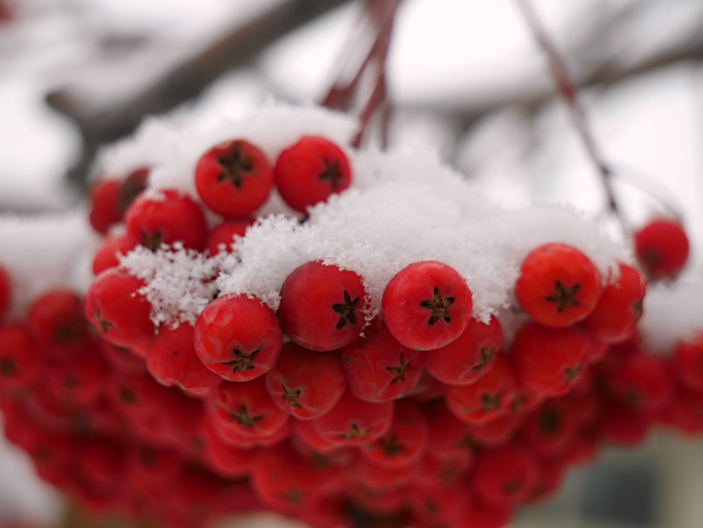 Red Berries and Snow by gq