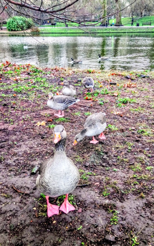 Friendly greylags by boxplayer
