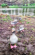 17th Jan 2019 - Friendly greylags