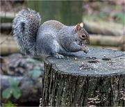 18th Jan 2019 - Grey Squirrel