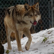 18th Jan 2019 - Mexican wolf