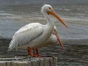 18th Jan 2019 - pelicans