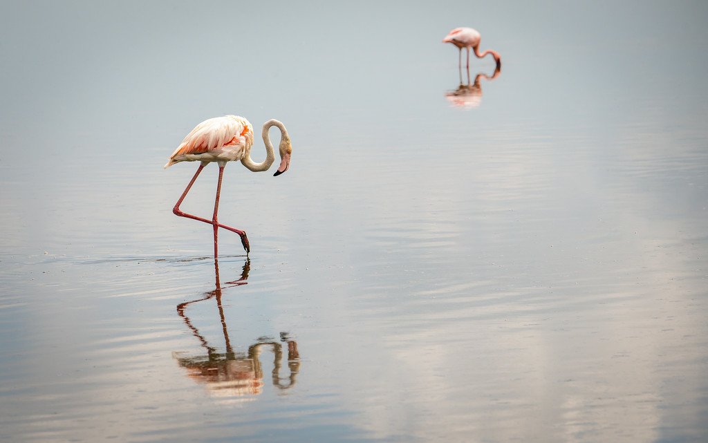 Two Flamingoes Study their Reflections by taffy