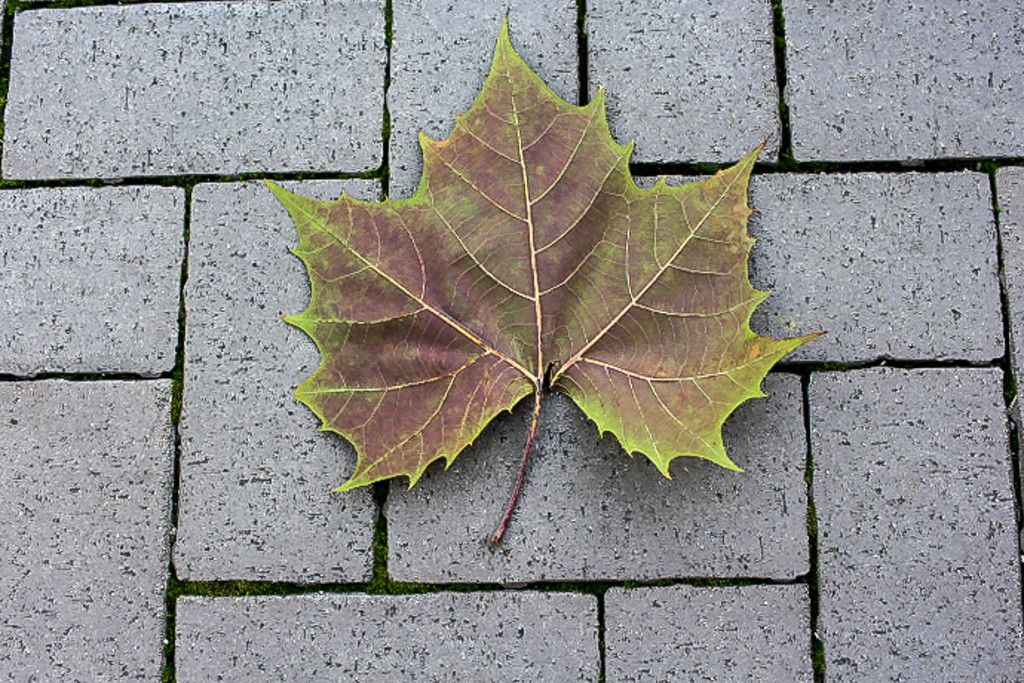 Leaf on the Sidewalk by judyc57