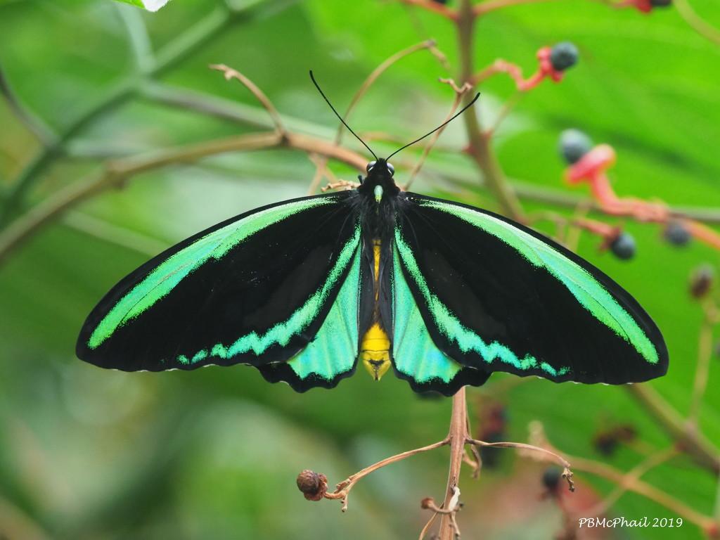 Butterfly 1 by selkie