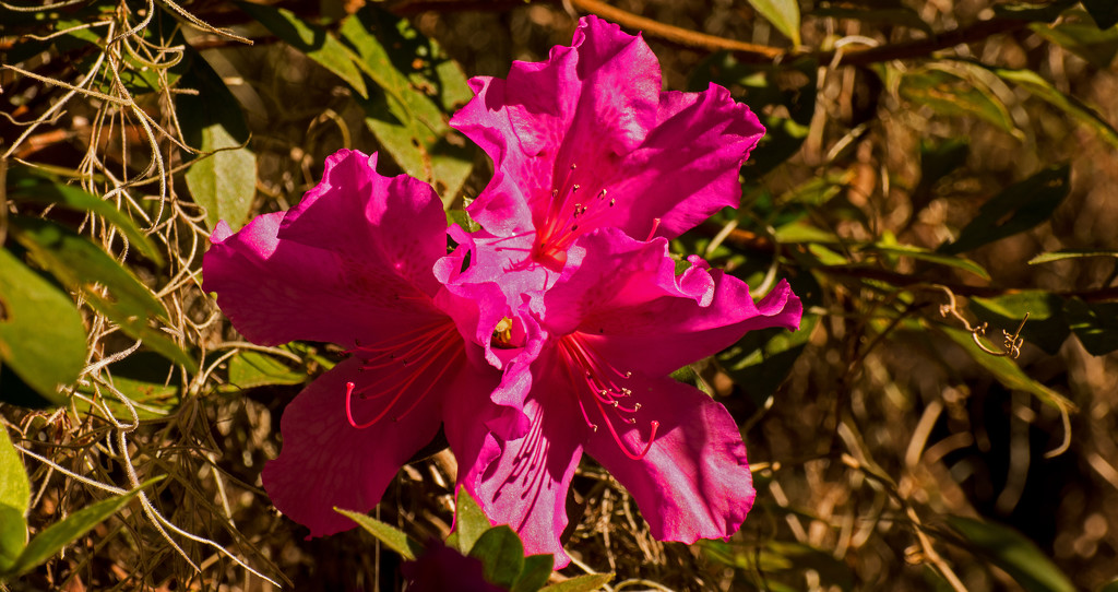 Azalea Flower, Still In Bloom! by rickster549