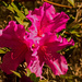 Azalea Flower, Still In Bloom!