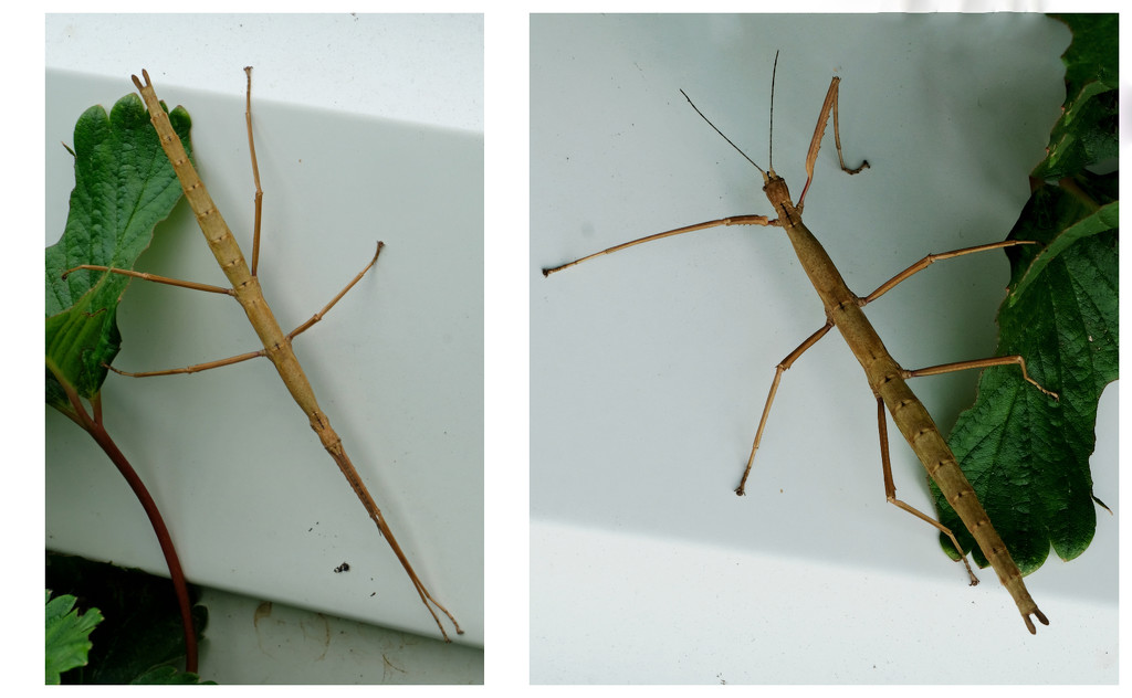 Stick insect by maureenpp