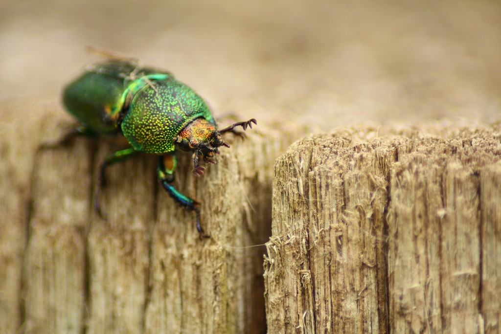 christmas beetle by wenbow