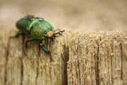 18th Jan 2019 - christmas beetle