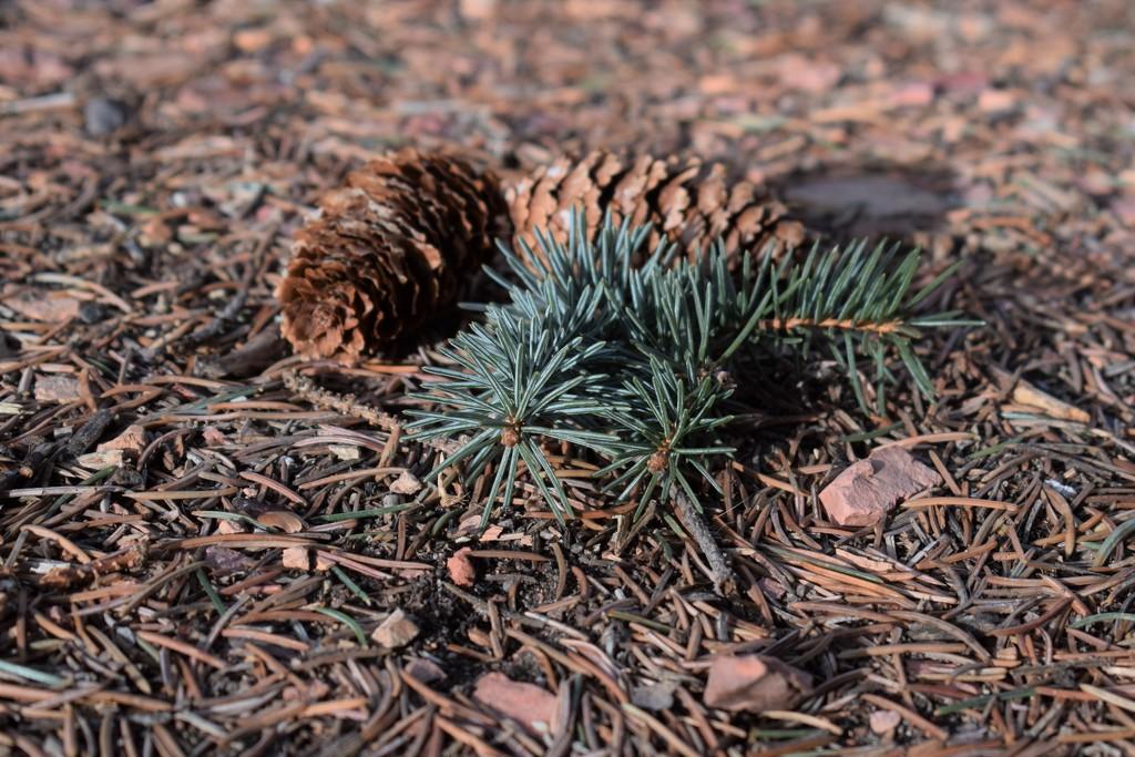 Spruce cones by sandlily
