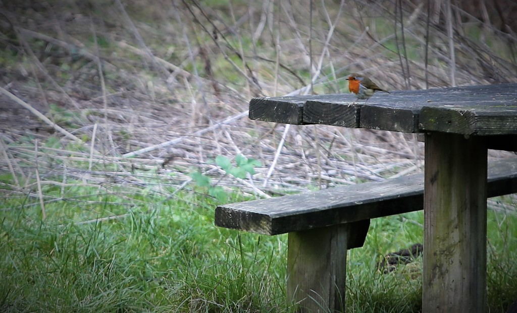 Willingham Robin by phil_sandford