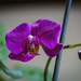 How To Get an Orchid to Bloom