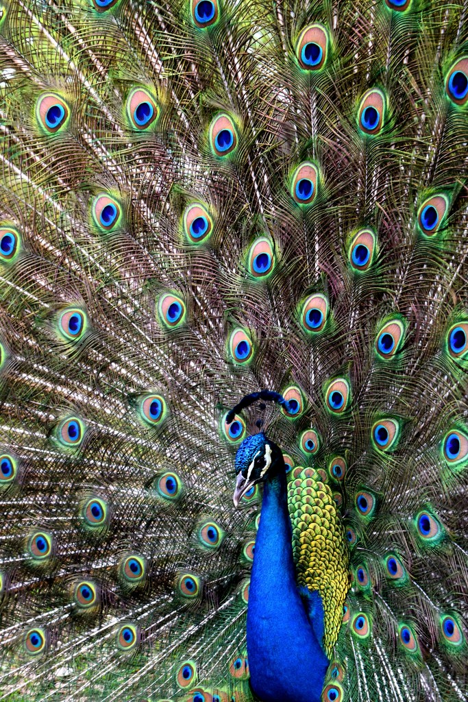 Beautiful Peacock by flashster78