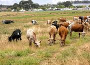20th Jan 2019 - More Nguni cattle
