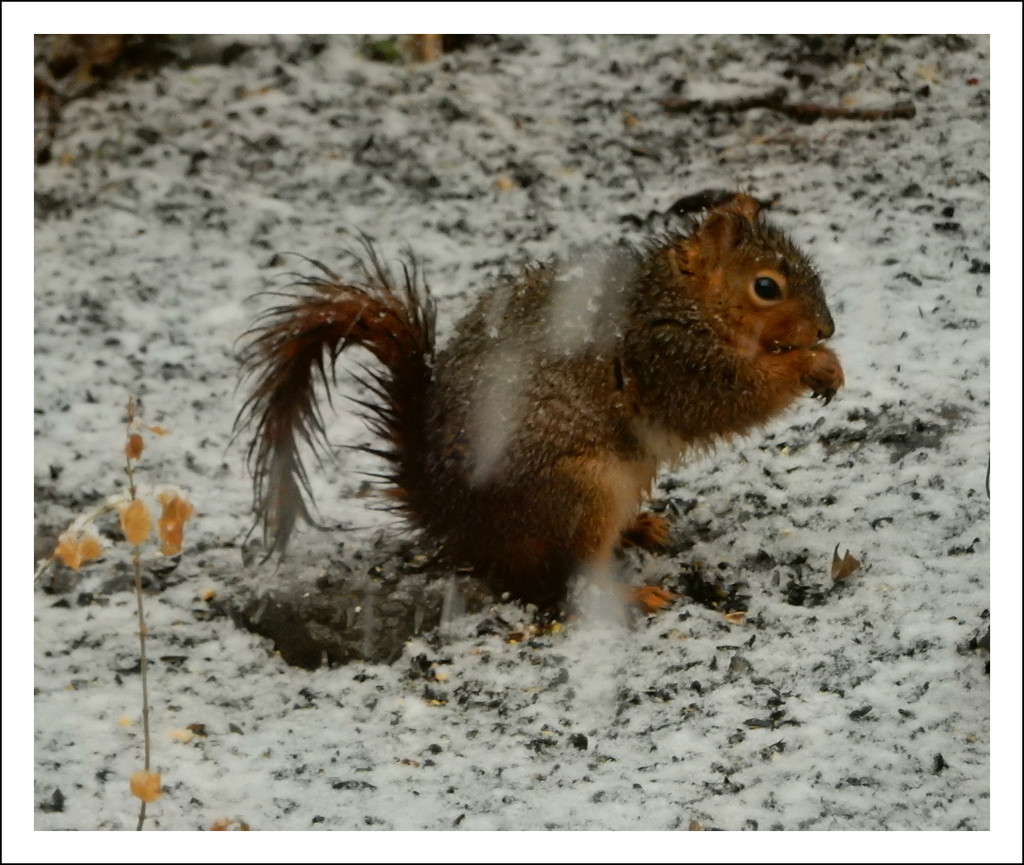 Squirrel in Snow by mcsiegle