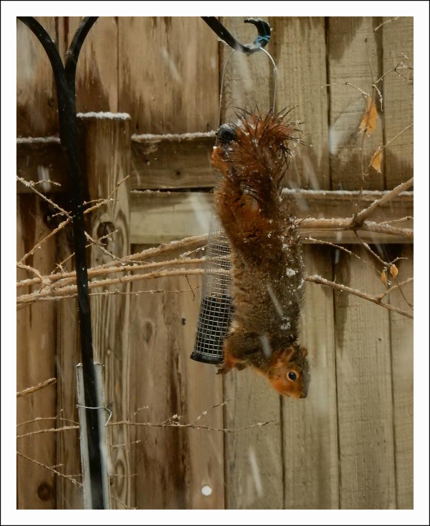 Squirrel  on feeder by mcsiegle
