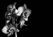 15th Jan 2019 - Infra Red Orchid