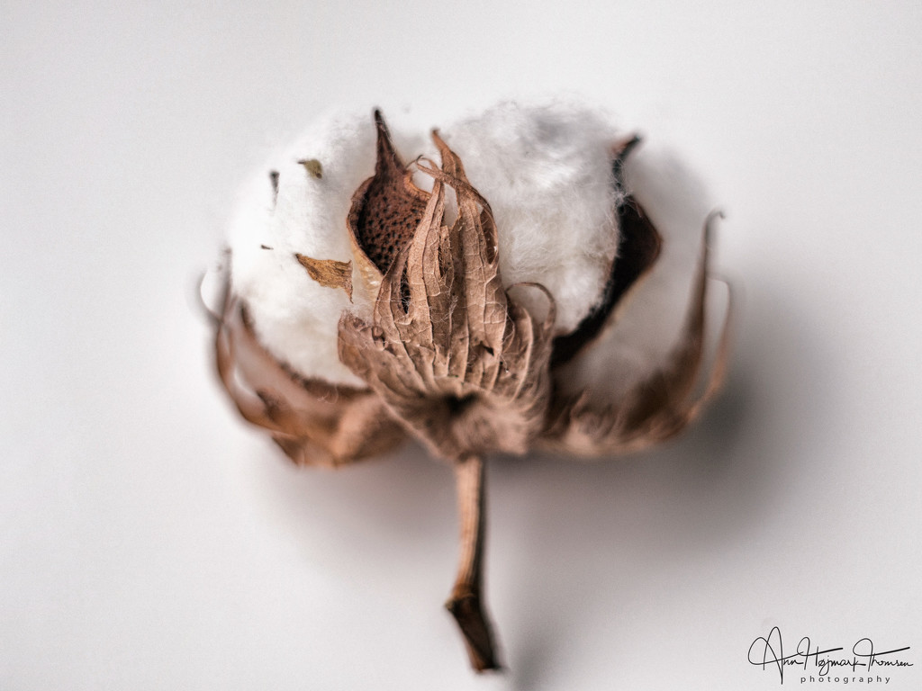 Cotton by atchoo