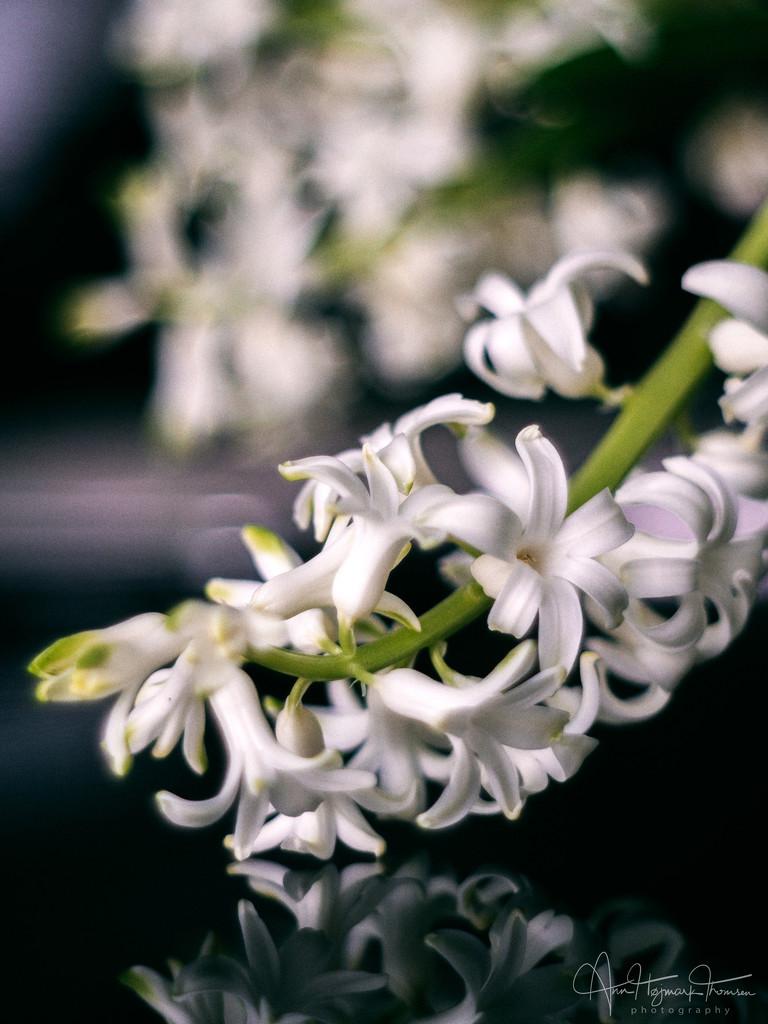 Hyacinths by atchoo