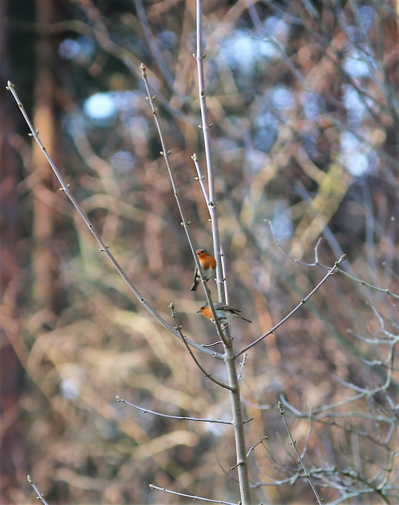 Willingham Robins by phil_sandford