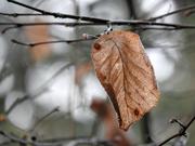 20th Jan 2019 - Winter Leaf