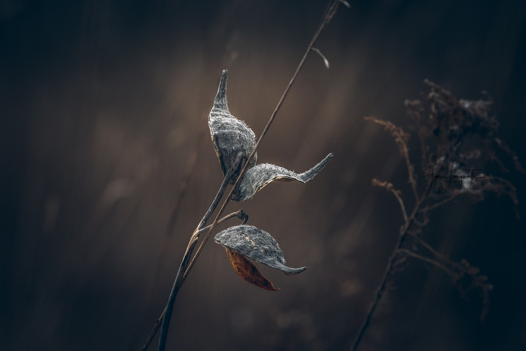 milkweed by shutterbugger