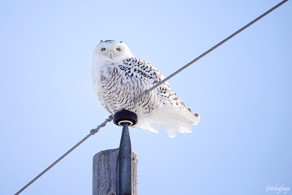 The beautiful snowy owl! by fayefaye