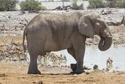 17th Dec 2018 - Elephant at the waterhole