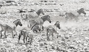 18th Dec 2018 - Fleeing Zebra