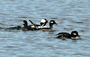 20th Jan 2019 - Buffleheads playing around.