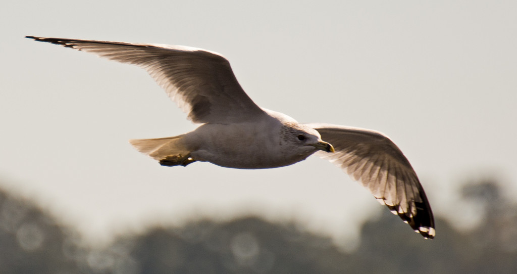 Seagull Overhead! by rickster549