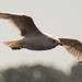 Seagull Overhead!