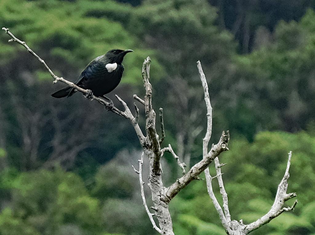 Tui in a dead tree by maureenpp