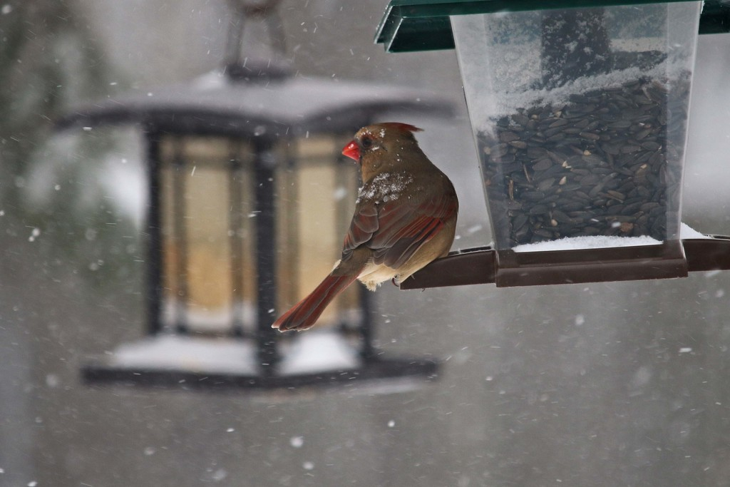 Female cardinal feeding in a snow storm and -17c by hellie